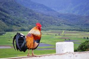 Wild Rooster-Kauai's